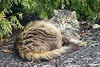 Momma Cat Out Resting Near Cedar Shrub 002 (Chrisser) Tags: cats ontario canada nature animal animals cat mainecooncat ourcatcompanions crazyaboutcats kissablekat kissablekats bestofcats kissablekitties kissablekitty canoneosrebelt1i canonef75300mmf456iiiusmlens
