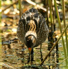 """Spotted Crake, Lower Moors, St. Mary's, 16.04.14, K.Webb. • <a style=""""font-size:0.8em;"""" href=""""http://www.flickr.com/photos/30837261@N07/13933097795/"""" target=""""_blank"""">View on Flickr</a>"""