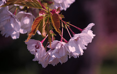 more spring blossom [explored] (carol_malky) Tags: pink flowers spring pretty blossom bokeh explore april 2014