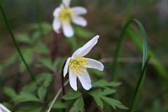 white little flower (Anamaria Brigitte) Tags: flowers white green grass garden outside petals spring warm little leafs