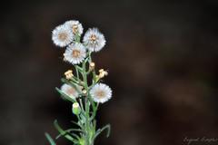 the wishing flower (lolitiaar) Tags: flower backyard fluffy wishing