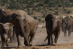 Suedafrika-50 (Lukas P Schmidt) Tags: elephant addo nationalpark elephantpark