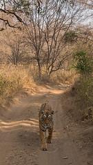ADS_0000103943 (dickysingh) Tags: wildlife tiger tigers ranthambore indianwildlife ranthambhorenationalpark