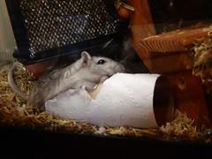 DSCN1024 (therovingeye) Tags: pets animals gerbil rodents gerbilhabitat