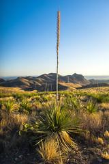 Sotol (michael spear hawkins) Tags: rural outside outdoors texas tx sony adapter westtexas bigbendnationalpark a7 bigbend deset chisosmountains mirrorless sonya7 canonfd24mmf14 canonfd24mml