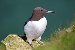 AN9A5776a1sz (Mark Strain.) Tags: uk sea wild bird nature animal animals canon coast wildlife cliffs tamron animalia guillemot 2016 wildbirds bempton markstrain