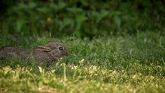Duck and Cover (JTPhotography) Tags: sunset cute rabbit bunny spring sweet hase hschen youngbunny panasonic45200mm panasoniclumixg6