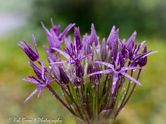 20160604_4276_Allium (Rob_Boon) Tags: plant flower macro waterdrops allium wijlre waterdruppel robboon