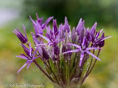 20160604_4276_Allium (Rob_Boon) Tags: plant flower macro waterdrops allium wijlre waterdruppel robboon