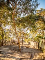 Gum Tree 1 (Quick Shot Photos) Tags: victoria gumtree sunburyg1xtestfz1000test