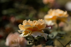 Reverie in the rose garden (Irina1010) Tags: roses summer orange nature canon bokeh ngc npc dreamy