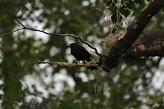 Blackbird at Tobar Mhuire (Latimer's Paradox) Tags: birds turdusmerula ornithology blackbird gardenbirds thrushes turdidae