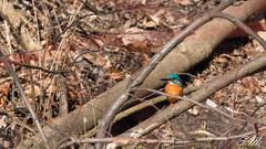 Eisvogel (smuschiol) Tags: tier vogel eisvogel