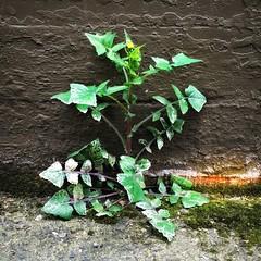 Alley Weed #1 (Dale Brueggemann) Tags: urban plants alleys