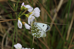 Orange Tip (Chris B@rlow) Tags: macro nature fauna canon butterfly insect outdoors butterflies insects lepidoptera northumberland orangetip anthochariscardamines ukbutterflies havannahnaturereserve
