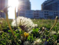 Dandelion Delight (Georgie_grrl) Tags: sunlight toronto ontario flower grass sunshine spring weed fluffy dandelion seeds flare harbourfront canonpowershotg15 hangingwithmondo