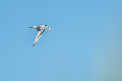Least Tern in flight with minnow (Ed Rosack) Tags: leasttern usa flight withprey 35gullsternsandskimmers fish centralflorida bird edrosack cocoa florida bif lete sternulaantillarum cocoabeach