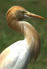 Cattle Egret (Afaque's Photography) Tags: pakistan wild bird waterbird egret sindh cattleegret jacobabad