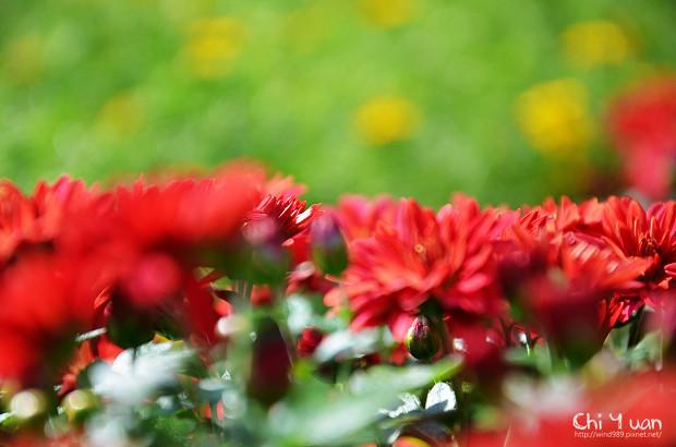 2011士林官邸菊展12.jpg