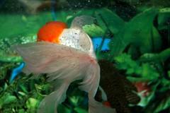 104 (Maryam J S) Tags: red fish aquarium redhead aquariumfish