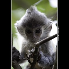 Malaysia: Monkey business - I wonder why that cyclops is looking at me (Bas Lammers) Tags: canon nationalpark jungle sarawak malaysia borneo 100400mm kuching bako silveredlangur