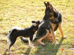 Puppy Greeting (wmliu) Tags: usa puppy us newjersey nj germanshepherd greeting bernardstownship miniaturehusky alaskankleekai wmliu pawsdogpark