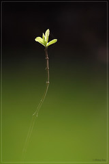 Green Leaves (Rhivu_Ray) Tags: life india color green art nature beauty canon eos leaf colorful asia december alone young 7d getty expressive bengal bangla colorgreen lifeonearth bestofnature eos7d canoneos7d canonefs55250mmf456is canon7d canonefs55250f456is  bestofcanon paschimbanga rhivu rhivuray rhitamvarray rhivuphotography