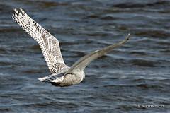 Flight II 3687-11 (StacyN - MichiganMoments) Tags: winter bird owl snowowl avian muskegon snowyowl stacyniedzwiecki