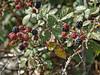 Frutos del bosque (Marc Prades) Tags: frambuesas fredes frutosdelbosque