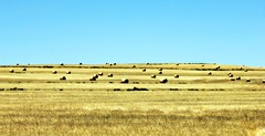 after the reaping (WITHIN the FRAME Photography(4 Million views tha) Tags: landscape golden day farm wheat dry clear hay bales