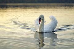 (~janne) Tags: autumn sea berlin nature water animal fauna 50mm see swan wasser f14 herbst natur olympus schwan tier vogel wetzlar muteswan tegel cygnusolor wasservogel leitz reinickendorf janusz gewässer höckerschwan tegelersee manuell summiluxr e520 cygnini ziob