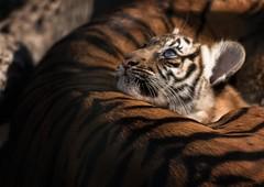 little Tiger (Blitzknips) Tags: cat tiger bigcat katze tierparkberlin specanimal highqualityanimals
