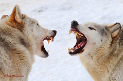 Networking! (Tony Margiocchi (Snapperz)) Tags: winter wild snow cold animals fight nikon power teeth fear anger hate networking faceoff nikkor fangs wolves vicious d3 snarl interaction frightening behaviour zsl specanimal europeangreywolf tonymargiocchi nikond3 zslwhipsnade