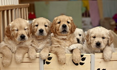 Thank you for your interest! (pe_ha45) Tags: dog chien goldenretriever pups puppies cachorro cucciolo cachorra chiots welpen whelps dankesandra