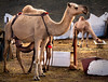 Feeding Time (☰ Hassan Ahmasani) Tags: feeding camel arab saudi arabia abha السعودية العربية المملكة جمل ناقة أبها عسير أبل الرضاعة timeوقت