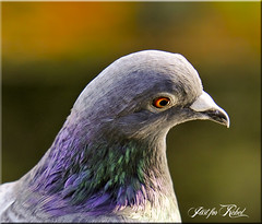 PORTRAIT (Shaun's Nature and Wildlife Images....) Tags: birds shaund