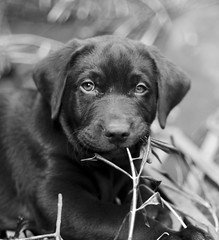 Bosco (Gremxul) Tags: light blackandwhite bw dog composition contrast puppy 50mm labrador dof bokeh highcontrast malta shades shade nikkor bosco chocolatelabrador labradorpuppy nikkor50mm14 blackwhitephotos d7000 gremxul