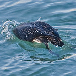008004-IMG_8422 Great Northern Diver (Gavia immer) thumbnail