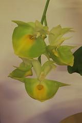 Catasetum pileatum Oro Verde_0006 (zet11) Tags: flowers orchid verde catasetum pileatum oro storczyki