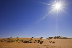 Camels Life (TARIQ-M) Tags: sun sunlight texture landscape sand waves desert dunes camel شمس camels riyadh saudiarabia بر الصحراء جمال الرياض صحراء رمال جمل ابل رمل طعس كانون نياق المملكةالعربيةالسعودية الرمل ناقة خطوط صحاري canonef1635mmf28liiusm canoneos5dmarkii نفود الرمال كثبان براري تموجات اشعةالشمس تموج mygearandme نفد