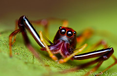 Viciria praemandibularis (Body) (Zeen.) Tags: red portrait nature spider eyes nikon bokeh zeen hussain salticidae hirzi elitebugs