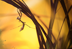 the dancer (twomeows (away...)) Tags: nature yellow canon mantis insect dance 100mm 50d f28macro