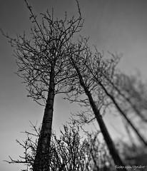 5/366 - scraping the skies (xGnarRx) Tags: trees canon mark ii 5d ultrawide f28 14mm samyang rokinon gnarr canon5dmarkii samyang14mmf28 rokinon14mmf28 gunnarcortes
