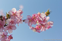 Cherry Blossom (Dylan Farrow) Tags: pink blue sky flower tree cherry tokyo pretty blossom bokeh website cherryblossom pixelpost flickrpost 60d notadded