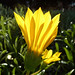 Petals Of Yellow