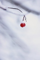 (**Alice**) Tags: winter macro berries bokeh romania 70mm romnia iarn braov