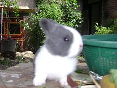 [Rabbits] My nose is lovely, right? (holyrabbit) Tags: konijn conejo coelho lapin kaninchen coniglio arnab    conill    kelinci  ternakuangbersamakelinci faizmanshur kelincidomestik bukukelinci