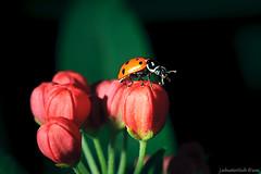 _JDS6137 (Jon Schusteritsch) Tags: flower macro closeup aquarium suffolk nikon sb600 january longisland atlantis ladybird ladybug tamron 90mm 2012 riverhead butterflyexhibit tamron90mmf28 strobist atlantismarineworld d700 jschusteritsch