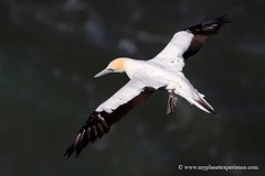 New Zealand - gannet in flight  #2 (My Planet Experience) Tags: newzealand bird canon photo inflight photographie flight nz northisland oiseau fou gannet muriwai austral muriwaibeach nouvellezlande ledunord wwwmyplanetexperiencecom myplanetexperience allofnatureswildlifelevel8