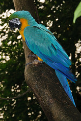 Blue-and-yellow macaw (Jim Skovrider) Tags: bird nature animal denmark zoo nikon natur nikkor macaw danmark ara regnskoven araararauna randers blueandyellowmacaw randersregnskov regnskov niksoftware sb900 adobephotoshoplightroom d300s sharpenerpro sharpenerpro30 nikond300s afsdxnikkor18200mmf3556gedvrii